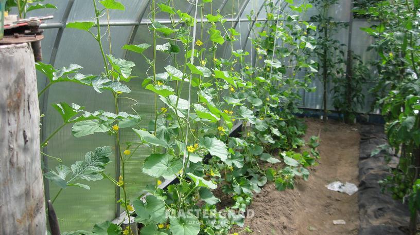 Выращивание дыни в парнике в подмосковье 26