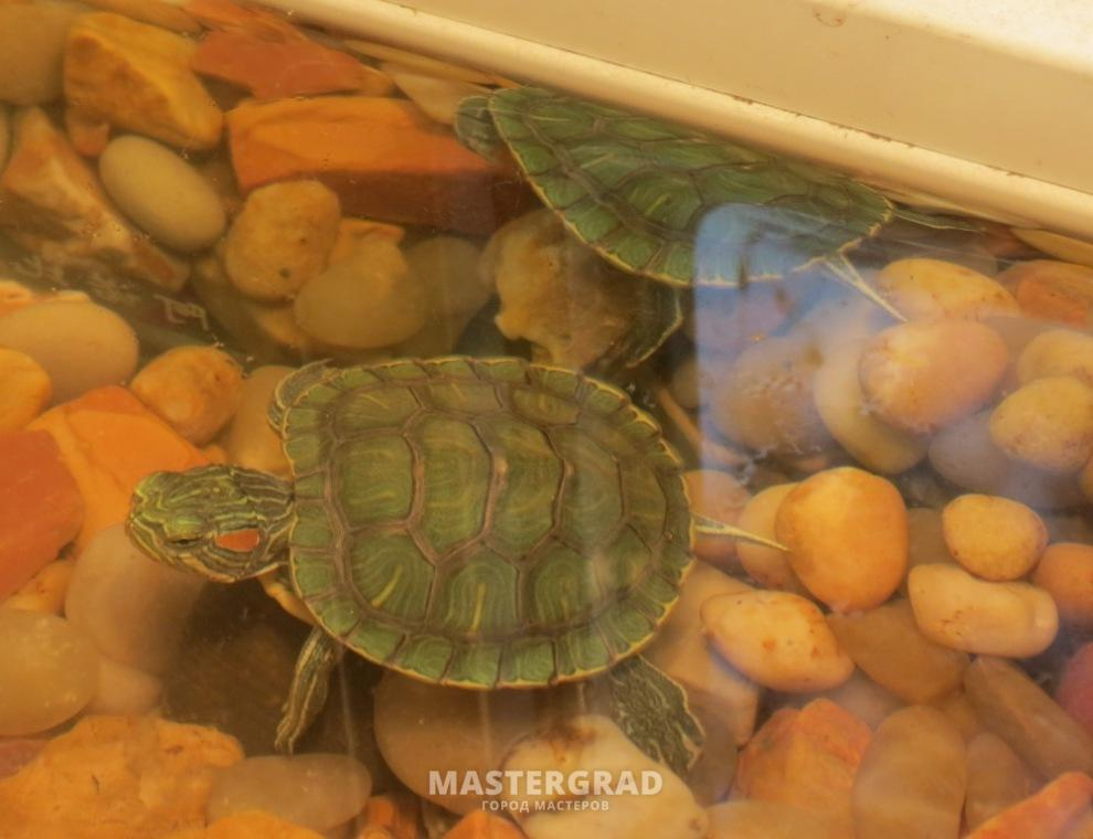 Красноухая черепаха форум